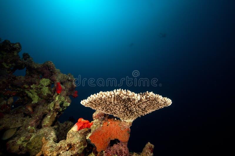 Acropora e vita subacquea tropicale. fotografia stock