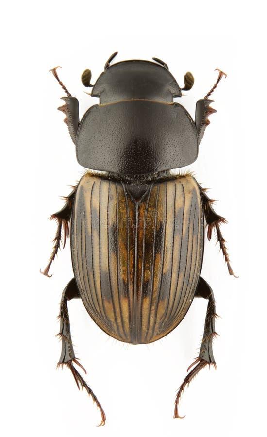Download Acrossus luridus stock photo. Image of close, scarabid - 17383014