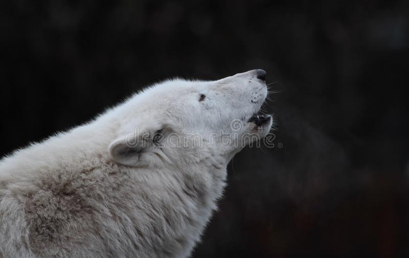 Wolf howling stock image