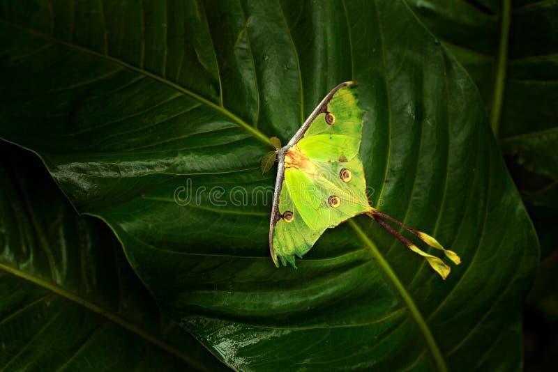 Actias luna, luna mal, härlig yelowgräsplanfjäril från Florida, USA Stor färgglad krypnaturvegetation, fjärilssitti royaltyfri bild