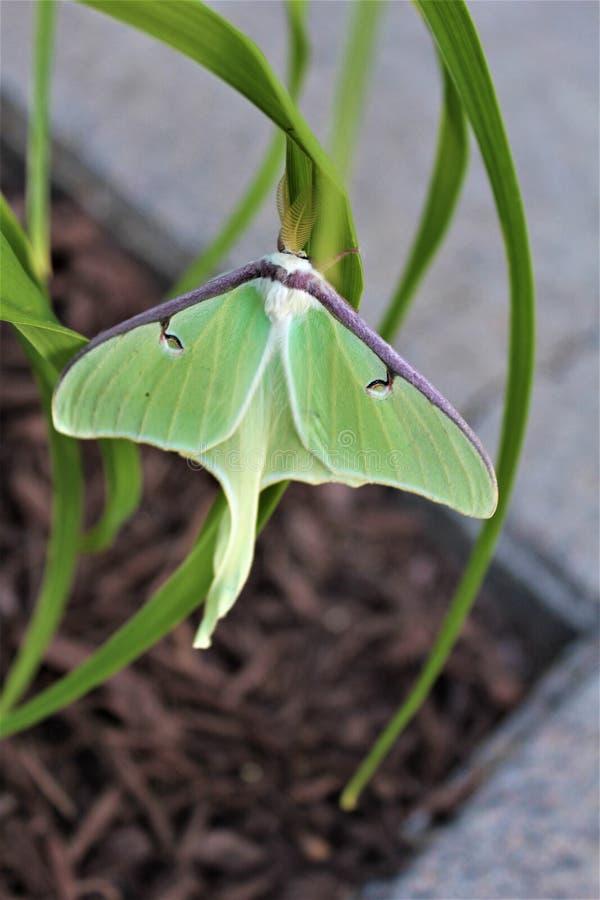 Actias luna, Luna Moth royalty-vrije stock foto's
