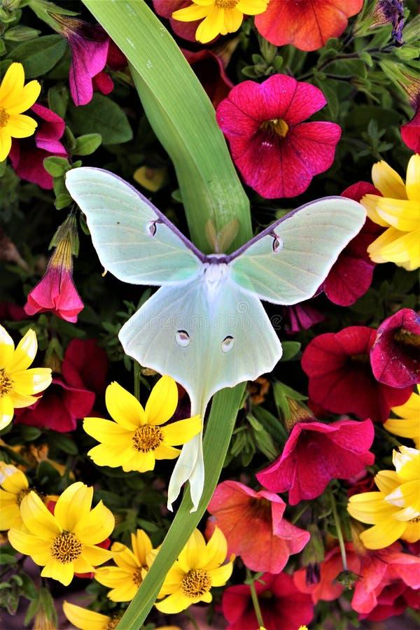 Actias luna, Luna Moth royalty-vrije stock foto