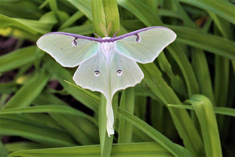 Actias luna, the Luna Moth. Large lime-green Atias Luna, the Luna Moth, Nearctic Saturniid moth on green vegetation royalty free stock photo