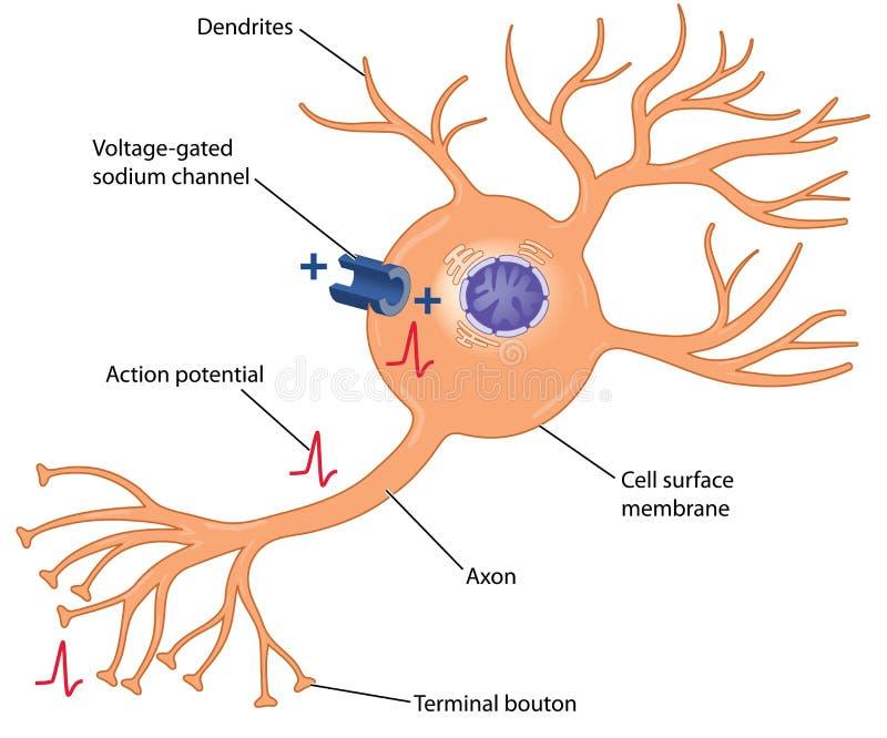 Actiepotentieel in een zenuwcel royalty-vrije illustratie