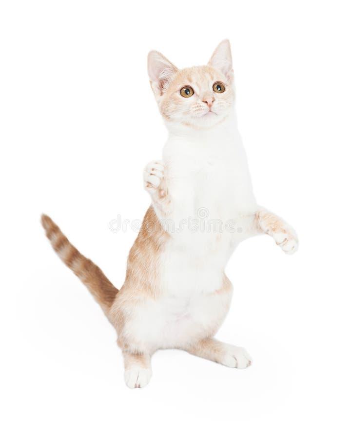 Actieve Binnenlandse Shorthair Kitten Swiping Paw stock foto
