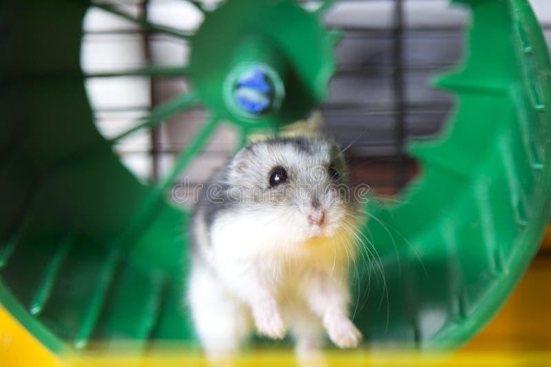 Actieve hamster die op een wiel lopen stock afbeeldingen