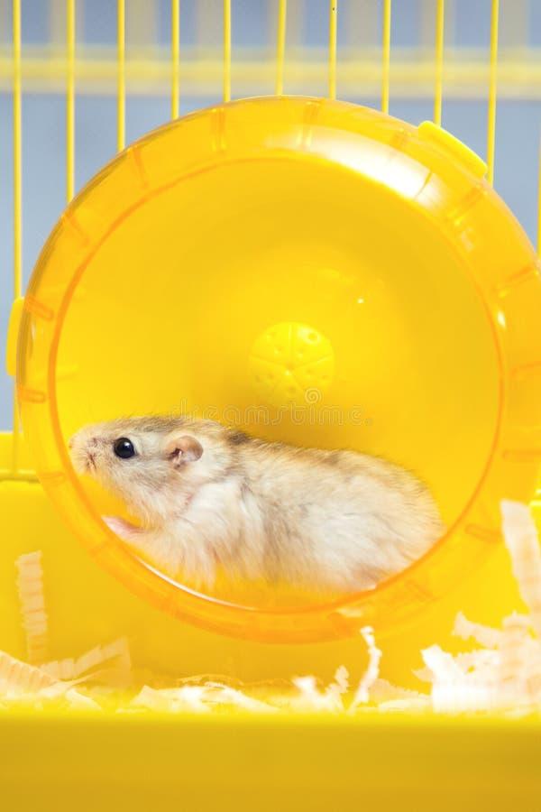Actieve hamster die op een wiel lopen royalty-vrije stock fotografie