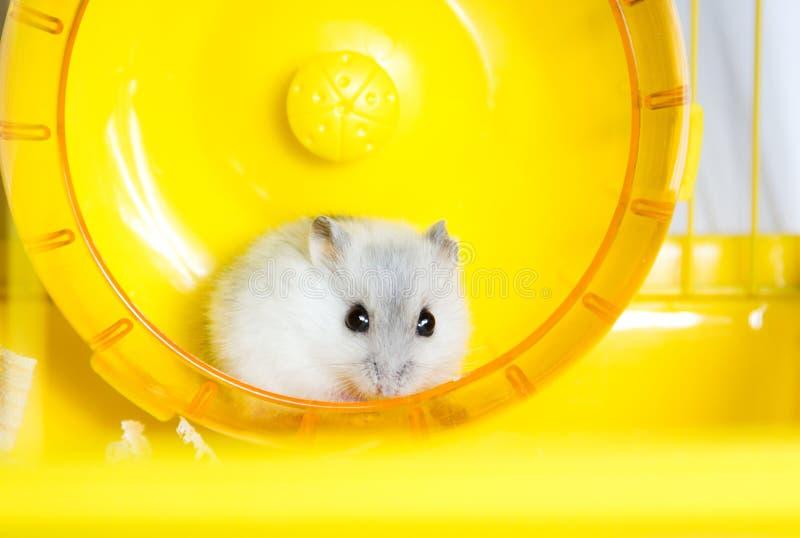 Actieve hamster die op een wiel lopen royalty-vrije stock afbeeldingen