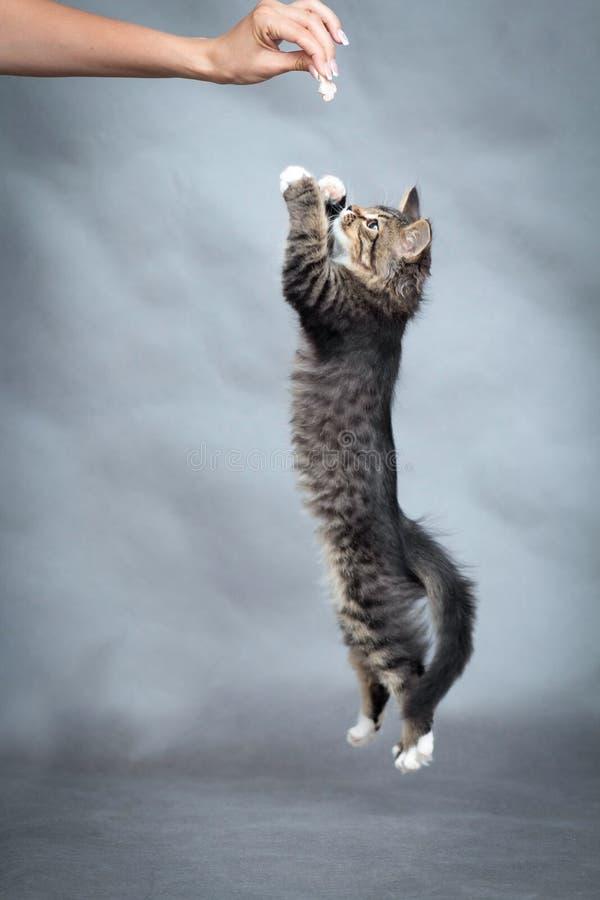 Actieve katjessprongen op hand met voedsel stock foto