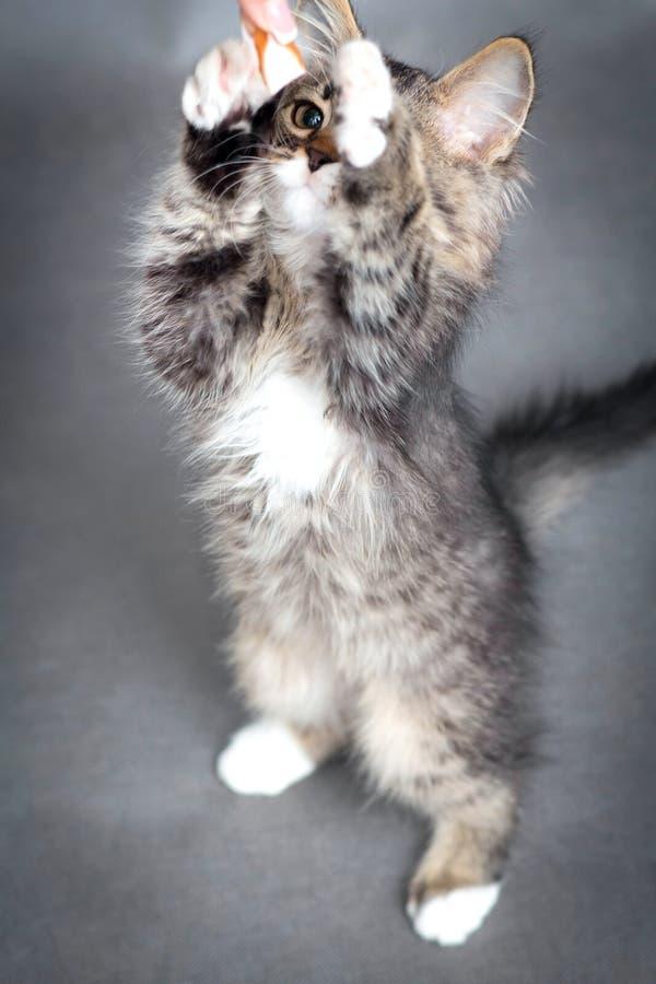 Actieve katjessprongen op voedsel stock foto's
