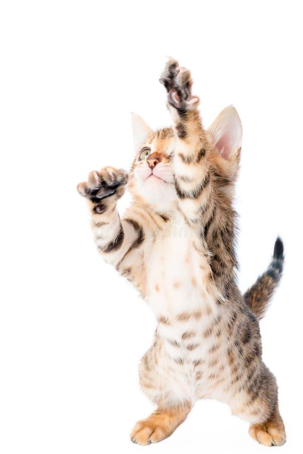 Actieve mooie katjesspelen stock afbeeldingen