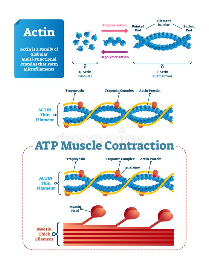 Actin vector illustration. Labeled diagram with protein structure. vector illustration