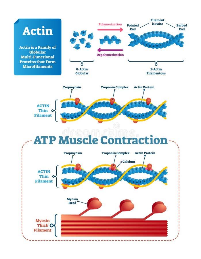 Actin wektoru ilustracja Przylepiający etykietkę diagram z proteinową strukturą ilustracja wektor