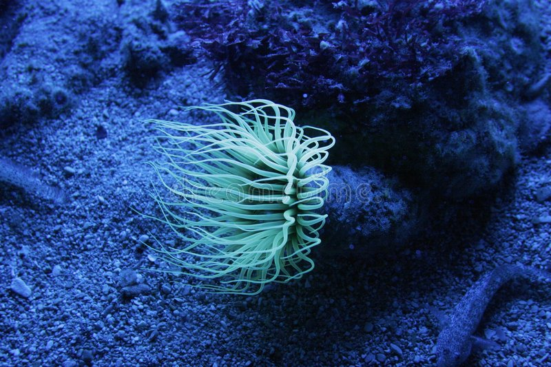 Actinia. In the blue light royalty free stock image
