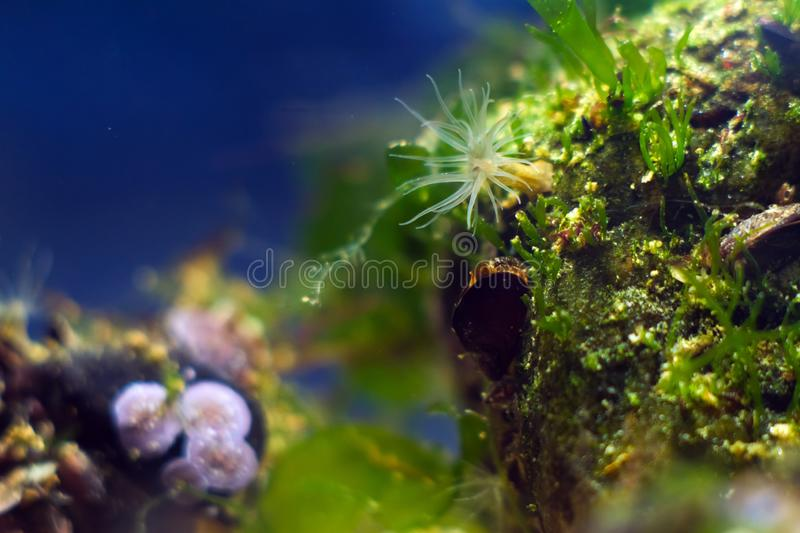 Actinia sp., sea anemone in Black Sea saltwater marine biotope aquarium, macro shot of invasive alien species. On stone with green algae, littoral zone stock images
