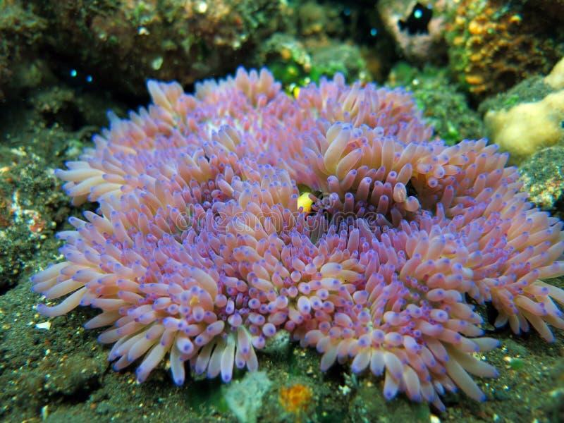 Actiniaria rośliny morski koral Bali fotografia stock