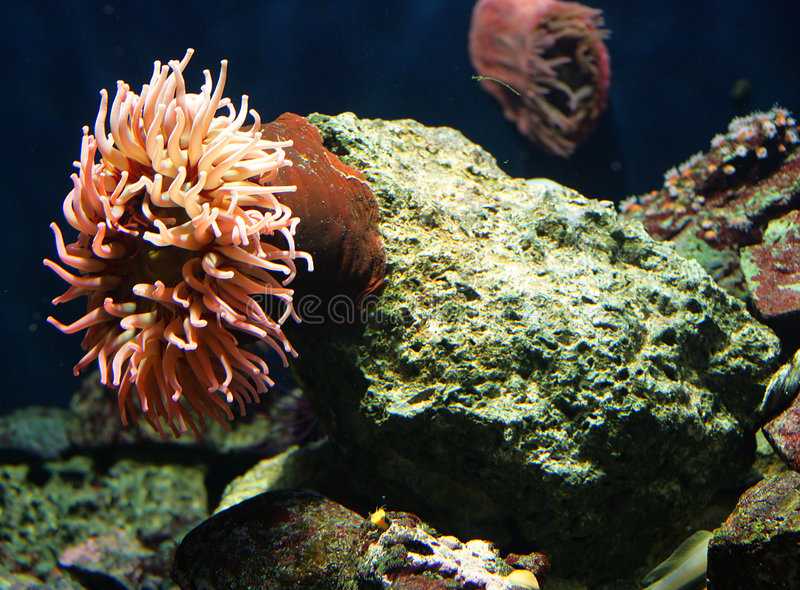 Actinias and Corals 6 royalty free stock image