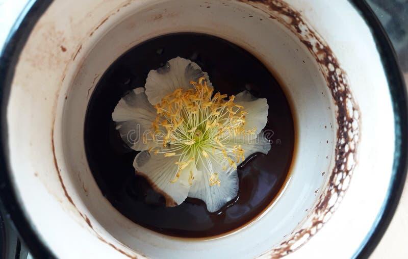 Actinidia masculino, flor del kiwi en la taza de caf?, fotograf?a macra fotografía de archivo