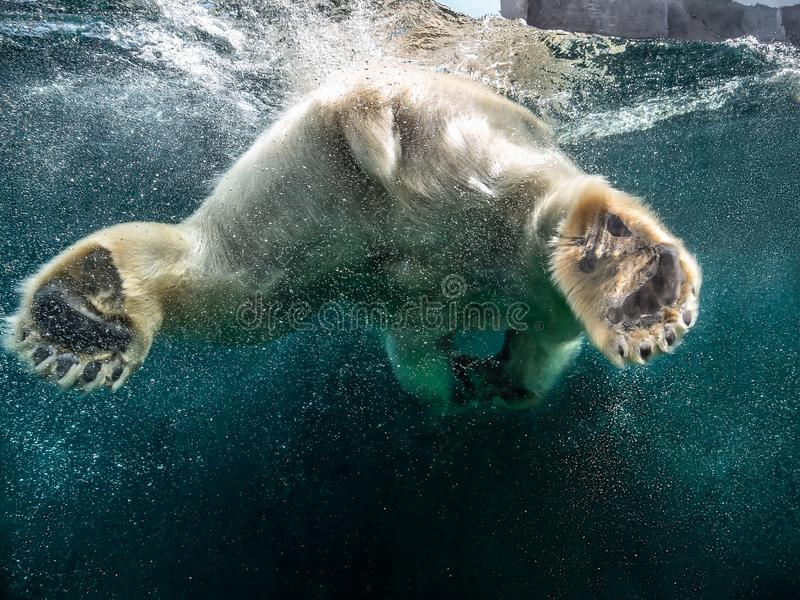 Action closeup of polar bear with big paws swimming undersea with bubbles under the water surface in a wildlife zoo royalty free stock photo