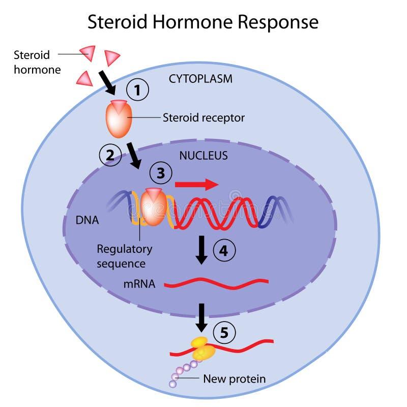 Action d'hormones stéroïdes illustration stock
