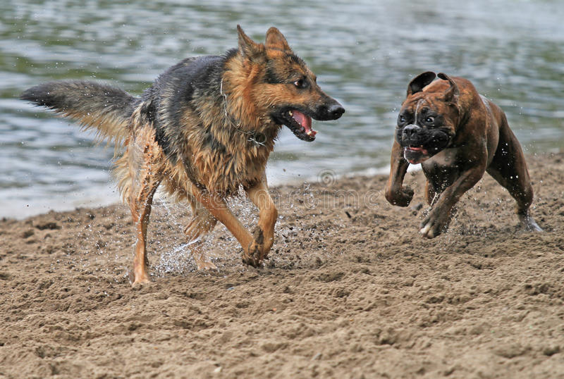 Action dogs stock image