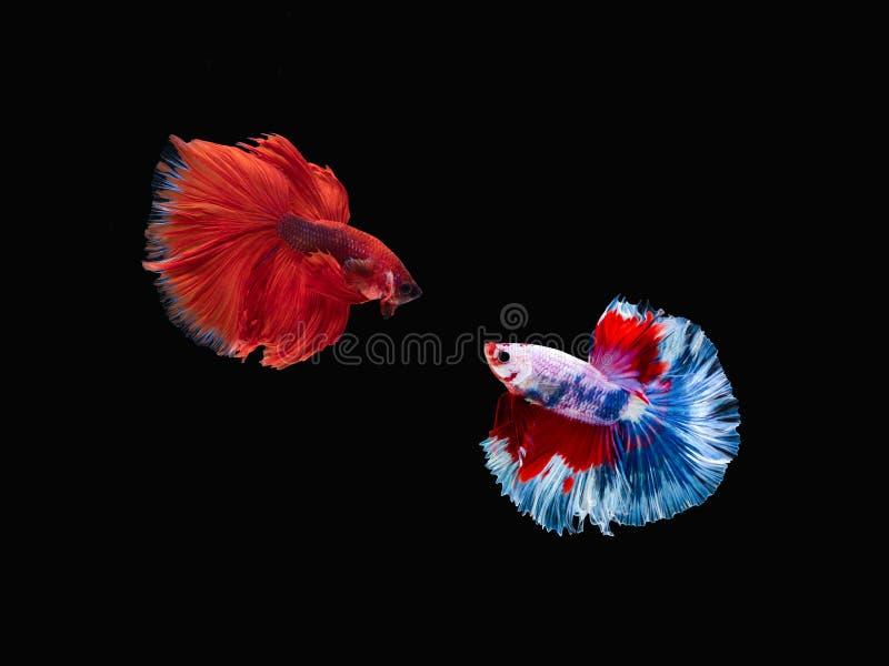 Action et mouvement des poissons de combat tha?landais sur un fond noir photographie stock libre de droits
