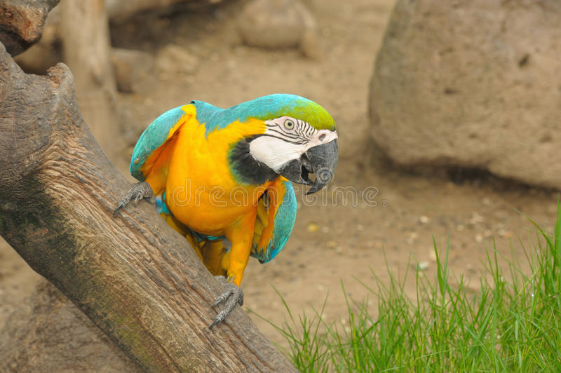 Download Action Macaw bird in zoo. stock image. Image of exotic - 26224121