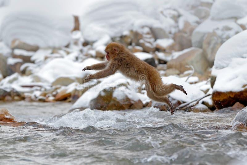 Action monkey wildlife scene from Japan. Monkey Japanese macaque, Macaca fuscata, jumping across winter river, Hokkaido, Japan. Sn. Action monkey wildlife scene stock photo