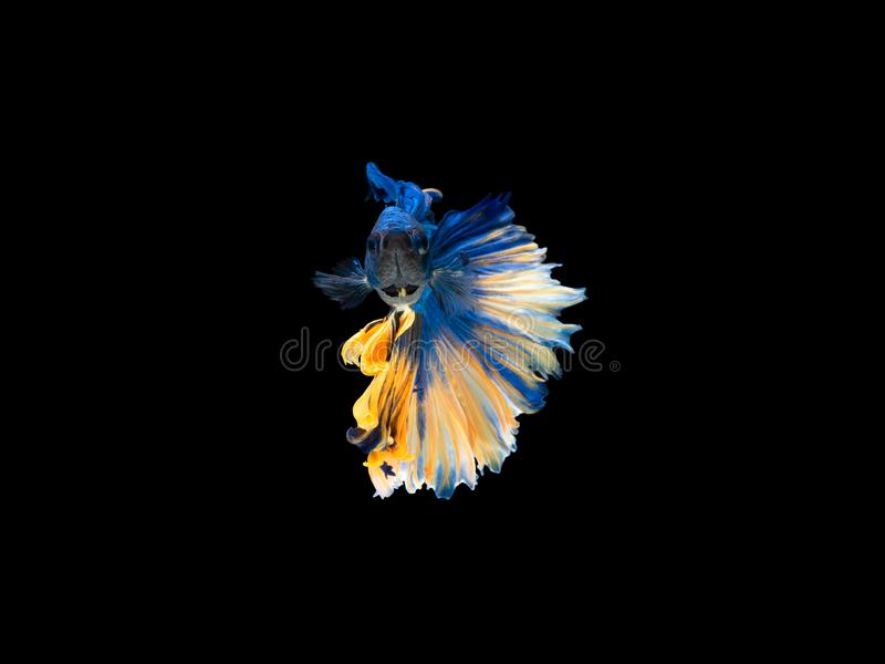 Action and movement of Thai fighting fish on a black background, Halfmoon Betta stock photos