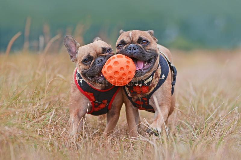 Action shot of two brown French Bulldog dogs with matching clothes running towards camera while sharing ball toy stock image