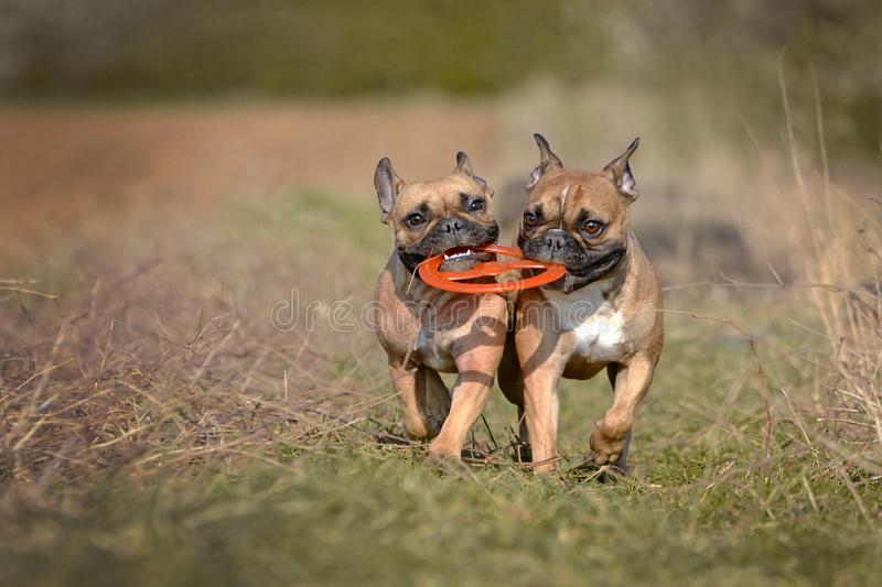 Action shot of two fawn French Bulldog dogs running towards camera while holding a flying disc toy togetherin their muzzles stock image