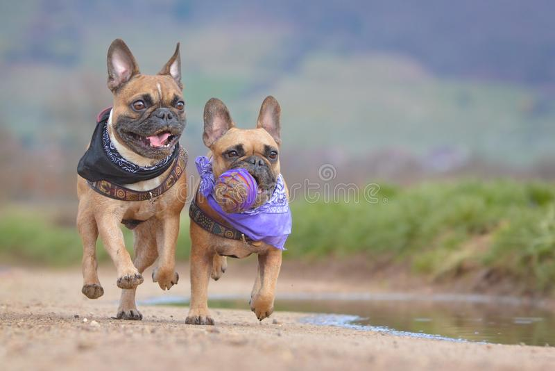 Two fawn French Bulldog dogs wearing neckerchief running together towards camera with ball toy in muzzle stock illustration