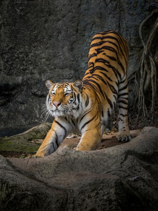 The action of the tiger. stock photography