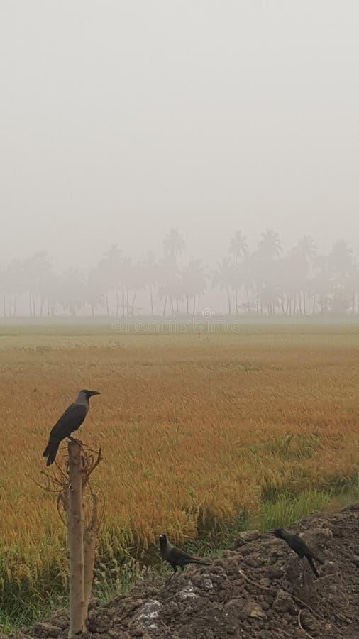 Actions de paddy photos stock
