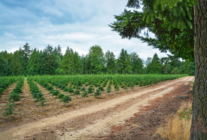 Actions de plantation des pins à la ferme d'arbre image libre de droits