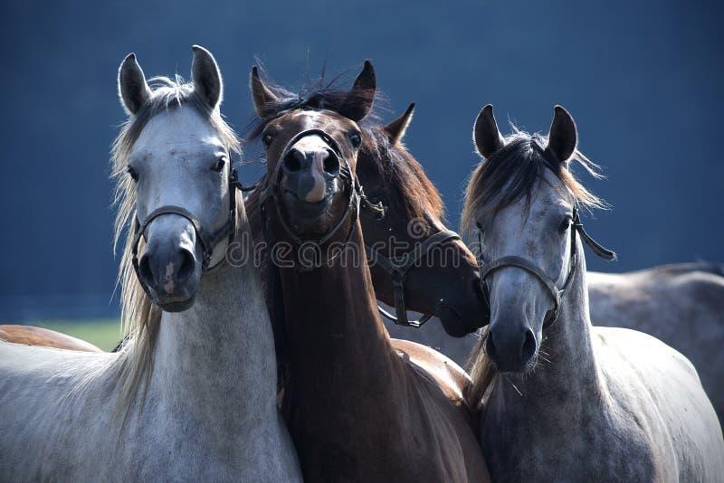 Actitud de cuatro caballos para una foto fotografía de archivo libre de regalías