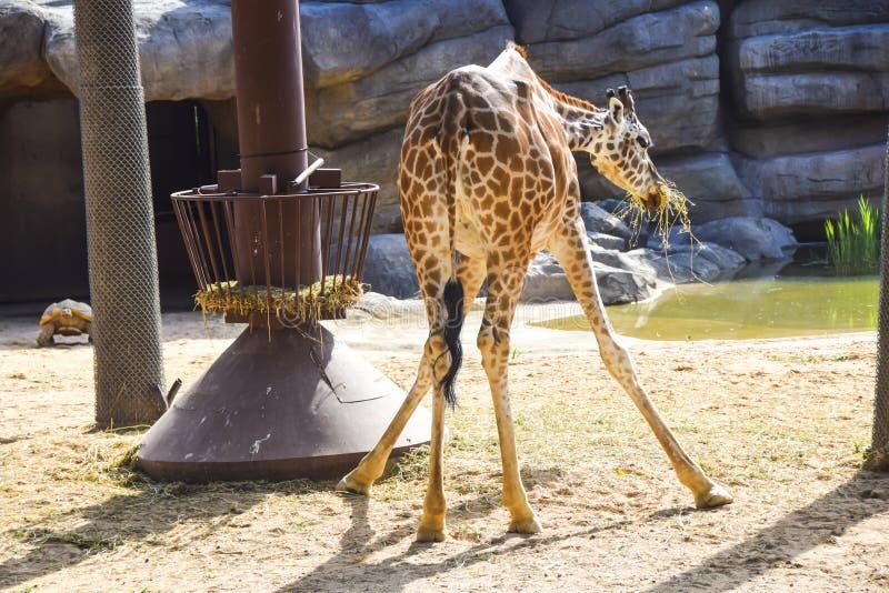 Actitud divertida de la jirafa que come el heno que dobla sobre la visión trasera que se agacha fotografía de archivo libre de regalías