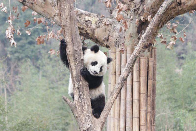 Actitud divertida de la panda juguetona, China imagen de archivo libre de regalías