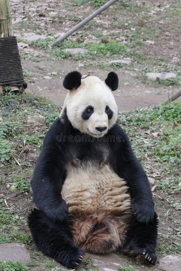 Actitud divertida de la panda juguetona, China fotos de archivo
