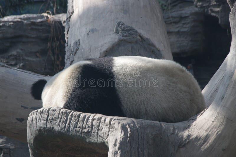 Actitud divertida de la panda juguetona, China fotografía de archivo libre de regalías