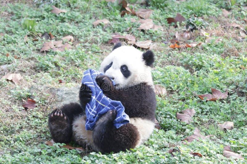 Actitud divertida de la panda juguetona, Wolong Panda Base, China imágenes de archivo libres de regalías