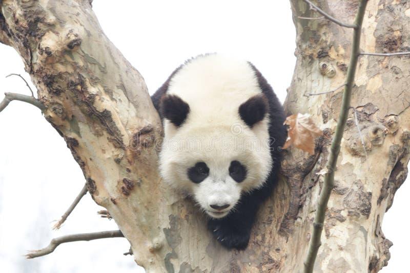 Actitud divertida de la panda juguetona, Wolong Panda Base, China fotos de archivo libres de regalías