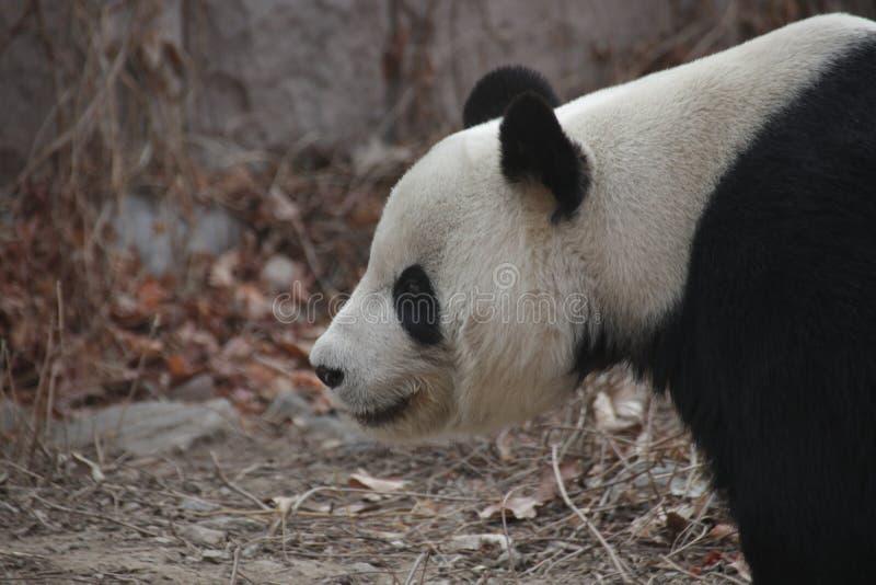 Actitud divertida de la panda juguetona, Wolong Panda Base, China imagenes de archivo