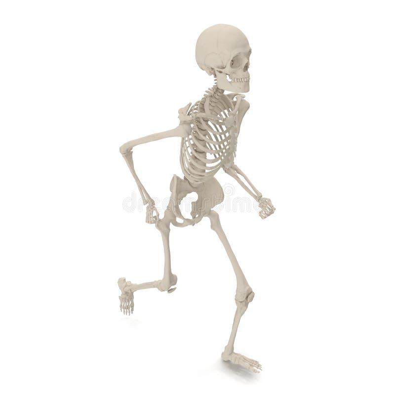 Actitud esquelética masculina exacta médica de la situación en blanco ilustración 3D stock de ilustración