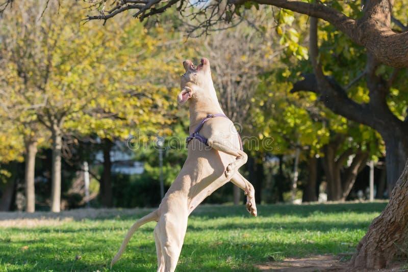 Actitud hermosa de un salto del terrier de Staffordshire americano imagenes de archivo