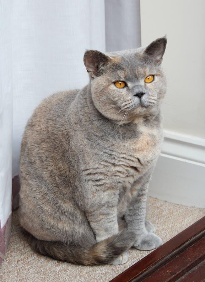 Actitud pedigrí del gato fotografía de archivo libre de regalías