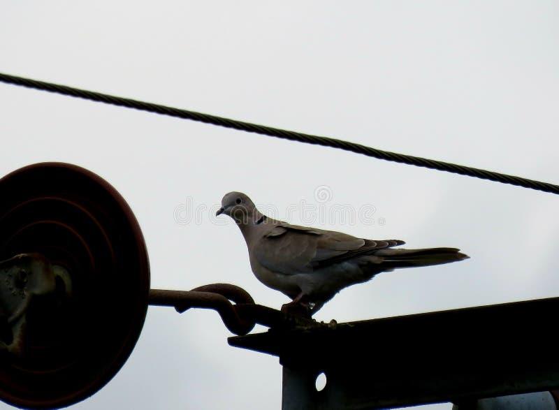 Actitudes de la paloma imágenes de archivo libres de regalías