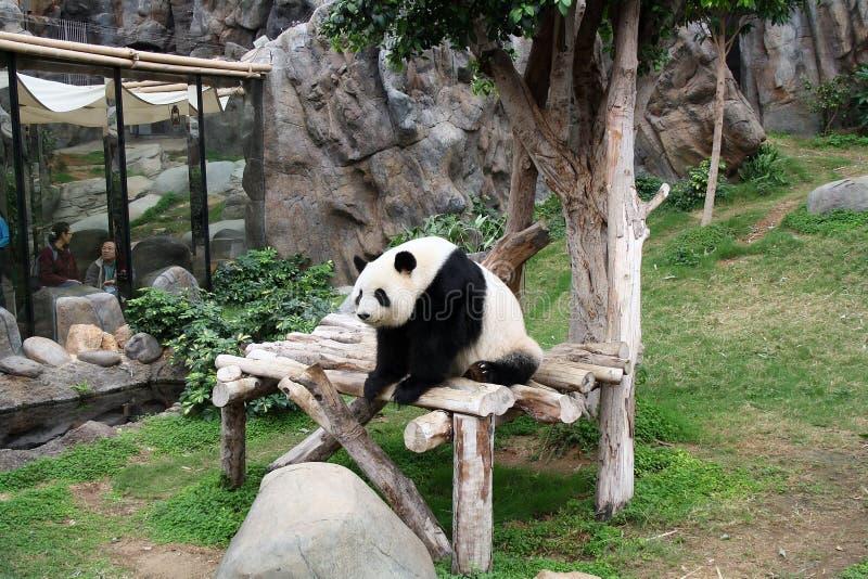 Actitudes de la panda para los visitantes del parque zoológico imagen de archivo libre de regalías