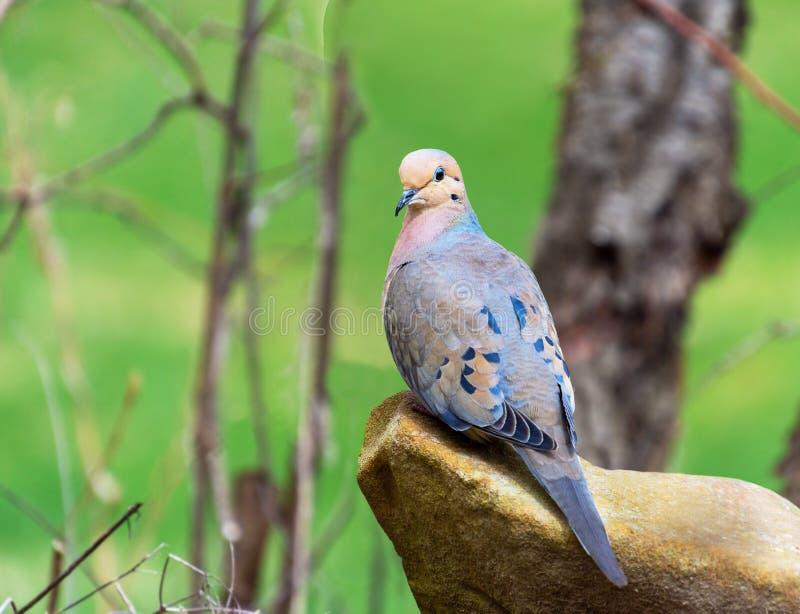 Actitudes de luto de una paloma en una roca imágenes de archivo libres de regalías