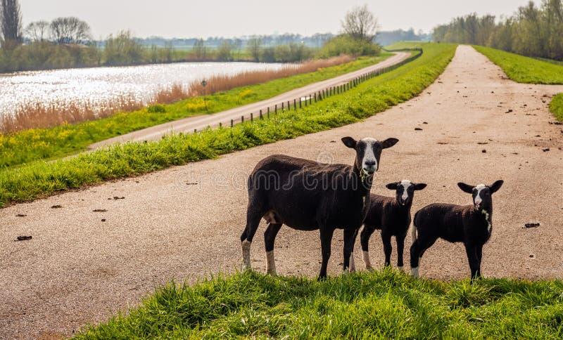 Actitudes negras de las ovejas de la madre para el fotógrafo con sus dos corderos recién nacidos encima de un dique imágenes de archivo libres de regalías